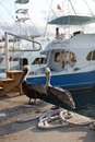 Pelicans Stock Images - 56703614