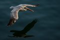 Pelican In Flight Stock Photos - 56734523