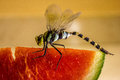 Dragonfly Eating Watermelon  Stock Images - 56741194