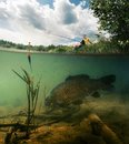 Pond With Carp Stock Images - 56741414