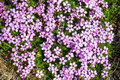 Moss Campion In Iceland Stock Photo - 56742820