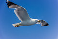 Seagull In Flight Royalty Free Stock Photo - 56746495