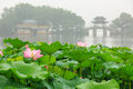 Hangzhou West Lake Lotus In Full Bloom In A Misty Morning Royalty Free Stock Images - 56752399