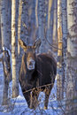 Cow Moose Royalty Free Stock Image - 56759086