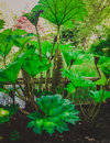 Fast-growing Green Plant With Large Leaves Royalty Free Stock Images - 56767109