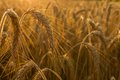 Wheat Fields Royalty Free Stock Photography - 56768467