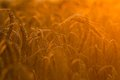 Wheat Fields Royalty Free Stock Image - 56769016