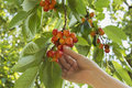 Picking Cherry Stock Images - 56790434