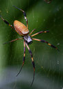 Golden Silk Spider Or Banana Spider Royalty Free Stock Images - 56793249