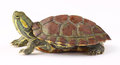 Turtle Stock Image - 56813111