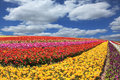 Sunny South Of Garden Buttercups /ranunculus/ Royalty Free Stock Images - 56825499