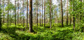 Light Pine Forest Stock Images - 56837414
