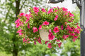 Petunia Flowers In Flower Pot Stock Images - 56843644