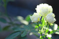 White Rose Stock Photography - 56849842