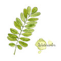 Watercolor Green Acacia Branch With Leaves Isolated. Hand Drawn Vector Illustration. Stock Photography - 56883682