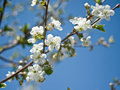 Blooming Cherry Tree Twig. Stock Images - 56894134