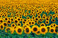 Field Of Sunflowers Royalty Free Stock Photo - 5698355