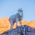 Mountain Goat At Sunset - Glacier National Park Royalty Free Stock Images - 56912819