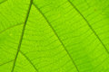 Structure Of Leaf Natural Background Royalty Free Stock Photos - 56915018