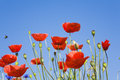 Germany, Poppies, Blue Sky, Copy Space Stock Photography - 56943822