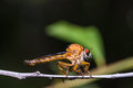 Robber Fly Stock Photography - 56962852