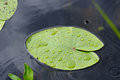 Water Lily Leaf. Royalty Free Stock Image - 56972226