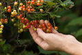 Hand With Red Currant Royalty Free Stock Photography - 56996877