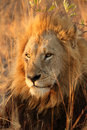 Lion In Sabi Sands Royalty Free Stock Photography - 5700457