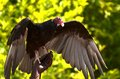 Red-headed Vulture Stock Photography - 57013582