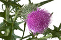 Milk Thistle Royalty Free Stock Images - 57040899