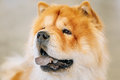 Brown Chines Chow Chow Dog Royalty Free Stock Images - 57054529