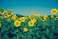 Vintage Field Of Sunflowers Stock Photo - 57065850