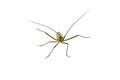 Insect With Long Antennae On A White Background Royalty Free Stock Images - 57068589