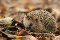 Hedgehog Close-up Royalty Free Stock Image - 57076846