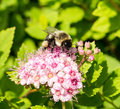 Bumble Bee On Pink Flower. Royalty Free Stock Images - 57085399