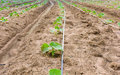 Cucumber Field Growing With Drip Irrigation System. Stock Image - 57120271