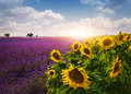 Lavender And Sunflowers Fields Stock Photo - 57127710