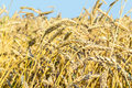 Ripe Ears Of Wheat In A Field Stock Images - 57129074