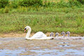 White Mother Swan Swimming In Line With Youngs Stock Photo - 57134490