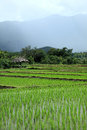Green Rice Field In Countryside, Chiang Mai, Thailand Stock Photos - 57147323