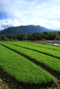 Green Rice Field In Countryside, Chiang Mai, Thailand Stock Photo - 57147550