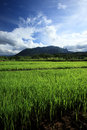 Green Rice Field In Countryside, Chiang Mai, Thailand Royalty Free Stock Photo - 57147695