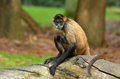 Spider Monkey Sit On A Tree Trunk Stock Photography - 57152042