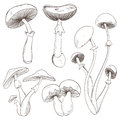 Set With A Variety Of Vintage Mushrooms. Royalty Free Stock Photography - 57166267