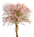 A Stand Alone Of Beautiful Pind Tecoma (pink Trumpet)  Tree On W Stock Images - 57176184
