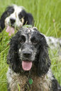 Working Spaniels Royalty Free Stock Photo - 5721925