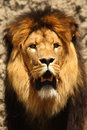 Male Lion Royalty Free Stock Photography - 5726377