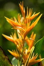 Heliconia Royalty Free Stock Image - 57201076