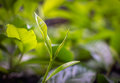Young Green Leaves & Leaf Bud Of The Tea Tree On Plantation In N Stock Photography - 57215252