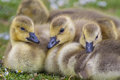 Canada Goose Goslings Close Up Royalty Free Stock Photography - 57219427